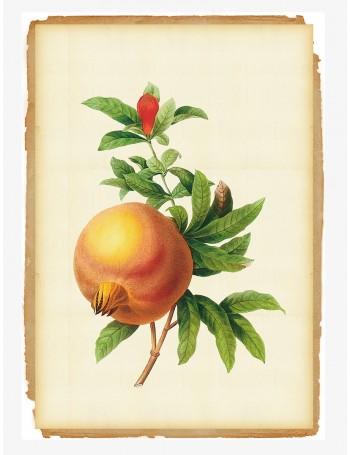 Botanical Pomegranate